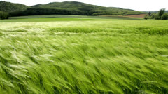 Beautiful cereal field in a windy day Stock Footage