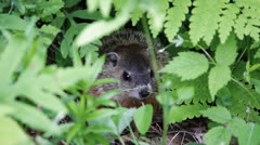 Marmot hiding in leaves Stock Footage
