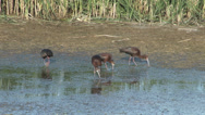Stock Video Footage of White-faced Ibis