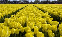 Yellow tulips lisse Stock Photos