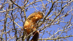 Squirrel eating berries. HQ. - stock footage