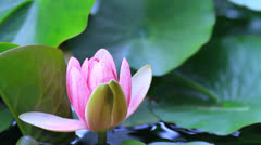 Lotus ( Water Lily) blooming on the pond. Stock Footage