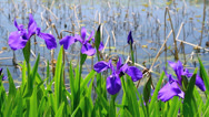 Purple irises. Stock Footage