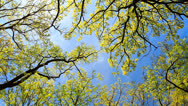 Stock Video Footage of Tree and blue sky.