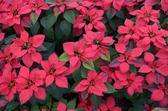 top view of poinsettia leaves - stock photo