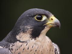 peregrine falcon profile close-up - stock photo