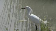 Stock Video Footage of snowy egret