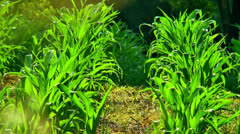 Corn field rows close up Stock Footage