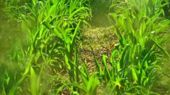 Corn field rows Stock Footage
