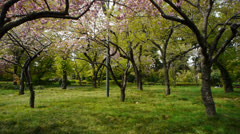 Tokyo Japan Cherry Blossom Forrest Stock Footage