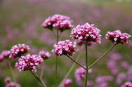 Close up of Verbena bonariensis Stock Photos