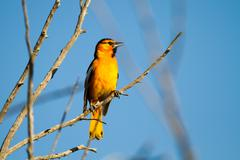 bullok's oriole, icterus bullockii - stock photo