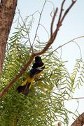 Rear view of a male scott's oriole in a mesquite tree in palo duro canyon sta Stock Photos