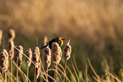 yellow-headed blackbird, xanthocephalus xanthocephalus - stock photo