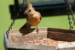 northern cardinal, cardinalis cardinalis - stock photo