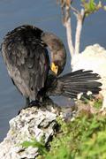 double-crested cormorant, phalacrocorax auritus - stock photo