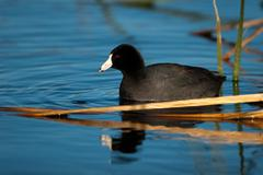 american coot, fulica americana - stock photo