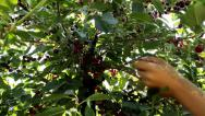 Stock Video Footage of picking cherries  ,clip with multiple shots sequences