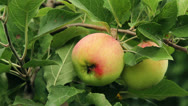 Stock Video Footage of green apple