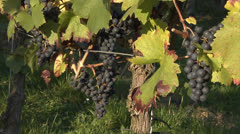 Blue grapes in a vineyard Stock Footage