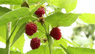 Stock Video Footage of Raspberries on a branch