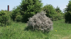 Hawthorn bush covered with silk web of Spindle moth larvae, Orchard Ermine Stock Footage