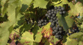 Blue grapes in a vineyard HD Footage