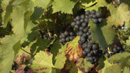 Stock Video Footage of Blue grapes in a vineyard