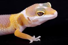 leopard gecko eublepharis macularius - stock photo