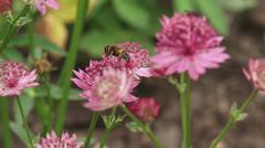 Great masterwort, Astrantia maxima in bloom + hoverfly pollinator Stock Footage