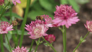 Stock Video Footage of Great masterwort, Astrantia maxima in bloom + hoverfly pollinator