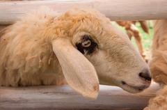 head of white sheep, thailand. - stock photo