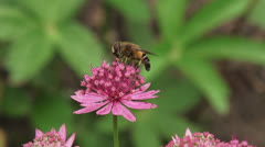 Great masterwort, Astrantia maxima in bloom + hoverfly - close up Stock Footage
