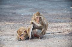 two monkeys cleansing each other - stock photo