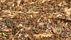 Red wood ants in the forest Stock Footage