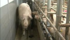 Pig boar insemination stable - stock footage