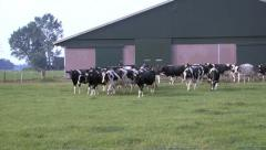 Cows out Stock Footage