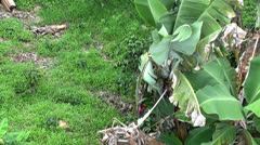 Plantains, Bananas, Plantations, Farms Stock Footage