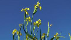 Yellow Flower - Iris Close Up against clear blue sky Stock Footage