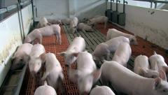 Pigletstay Stock Footage