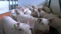 Pigletstay 2 Stock Footage