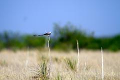 scissor-tailed flycatcher, tyrannus forficatus - stock photo