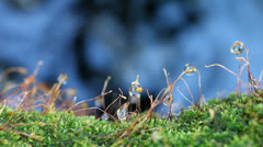 Moss spore stalks with water Stock Footage