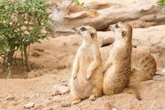 Meerkat  looking alert for guard Stock Photos