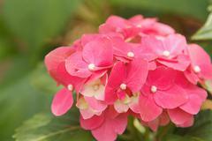 Pink hydrangea blossoms Stock Photos