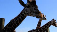 Giraffes in Captivity Stock Footage