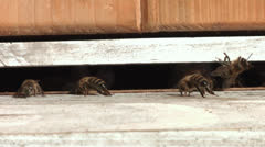 Bees at the entrance to the hive are cooling down the temperature in the hive. Stock Footage