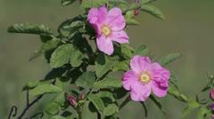 Dog rose flower Stock Footage