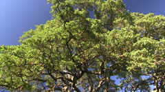 Sacramento Valley white oak Stock Footage