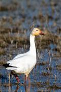 Snow goose, chen caerulescens Stock Photos